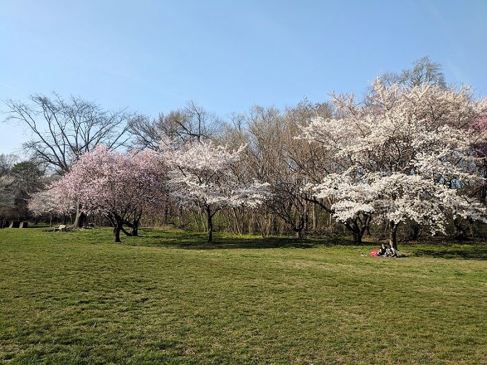 Blossoming pink trees in Fairmount Park with two people sitting under a tree.