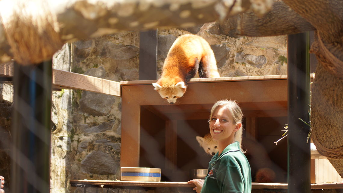 red pandas and keeper brandywine zoo