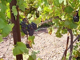 sandcastle vineyard