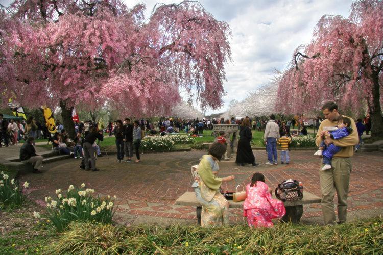 cherry blossom 2 500