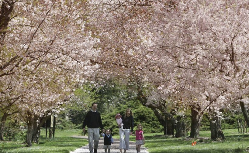 Image result for Morris Arboretum Cherry Blossom Days