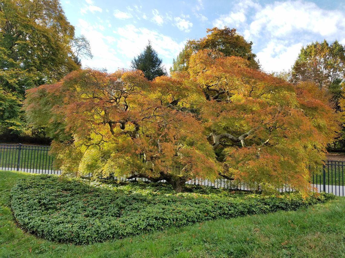 Phillyfunguide – Japanese Garden Pruning: Weeping Maples